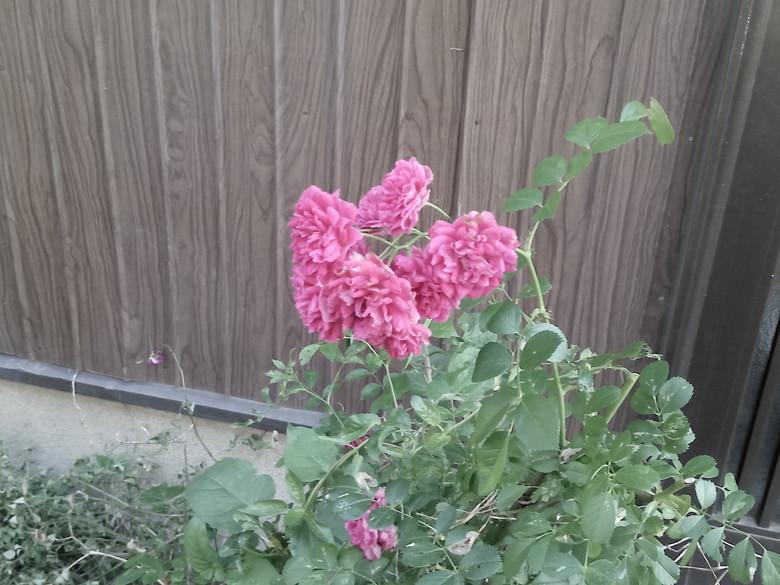 自宅前のバラを撮影